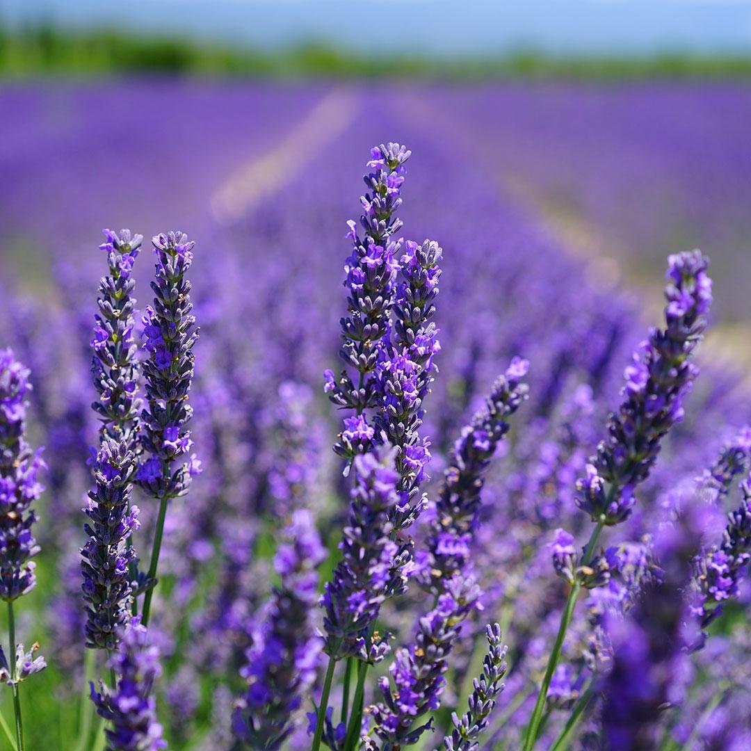 Ein Feld mit Lavendel. Eine gute Zutat für einen leckeren Mocktail.